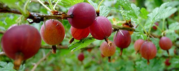 Stikkelsbærsaft